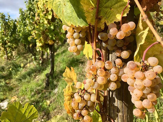 Llorenz_Weingut_Weißweintrauben.jpg