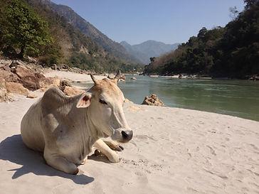 Une vache au bord du Gange à Rishikesh - yoga traditionnel angers