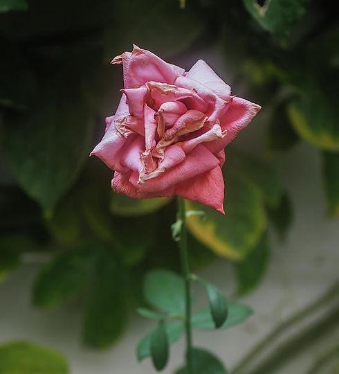 Dying Single Pink Rose.jpg