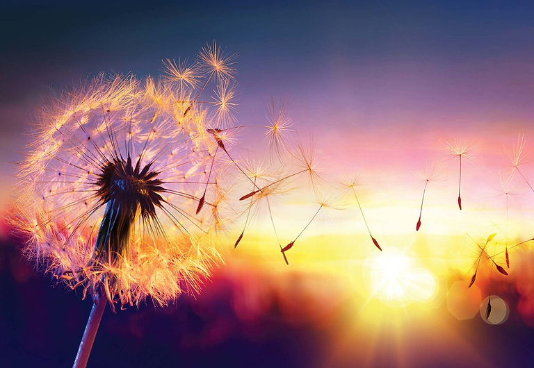 Dandelion Sunset.jpg