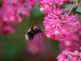 'Bumblebee on Redcurrant' by Martin Lamb