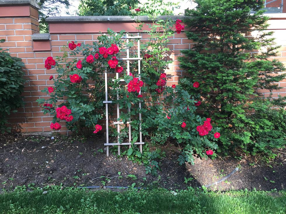 Lower Gate - Roses.JPG