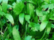 cilantro.jpg