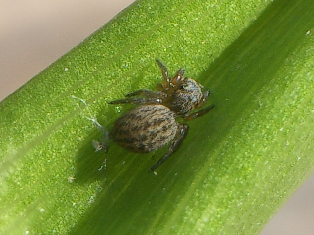 IMGP8138 - Euophrys herbigrada