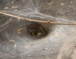 Toile Agelena labyrinthica