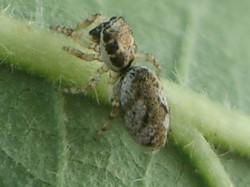 Salticus mutabilis - ABD
