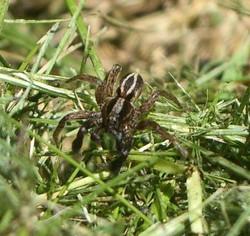 IMGP4643 2 - Alopecosa albofasciata