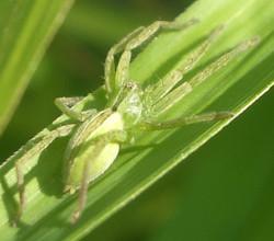 IMGP0071 - Micrommata ligurinum