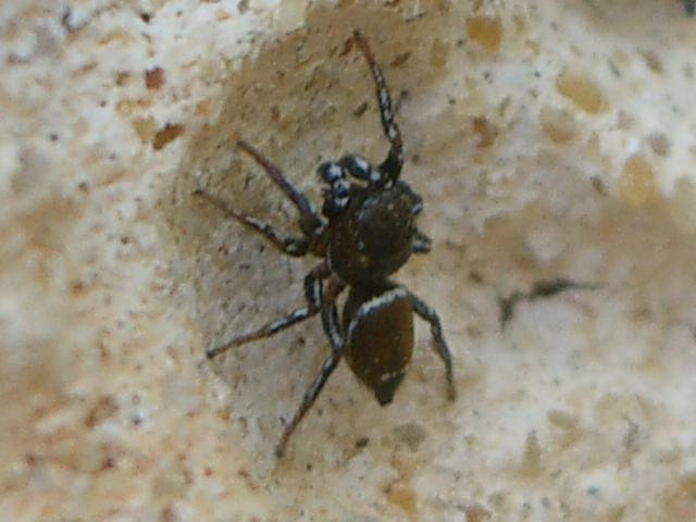 IMGP5016_-_Heliophanus_tribulosus_mâle