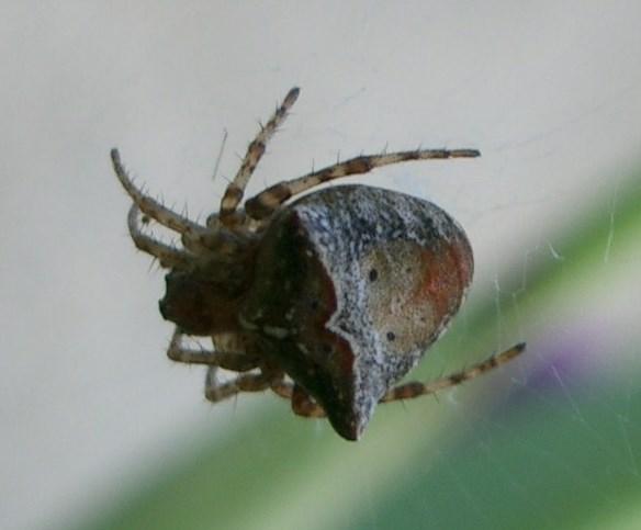 IMGP2908 - Gibbaranea bituberculata