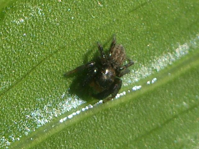 IMGP8141 - Euophrys herbigrada