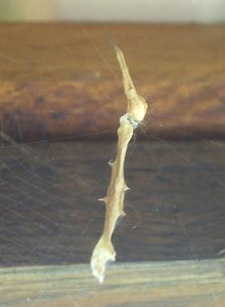 IMGP2915 - Uloborus walckenaerius