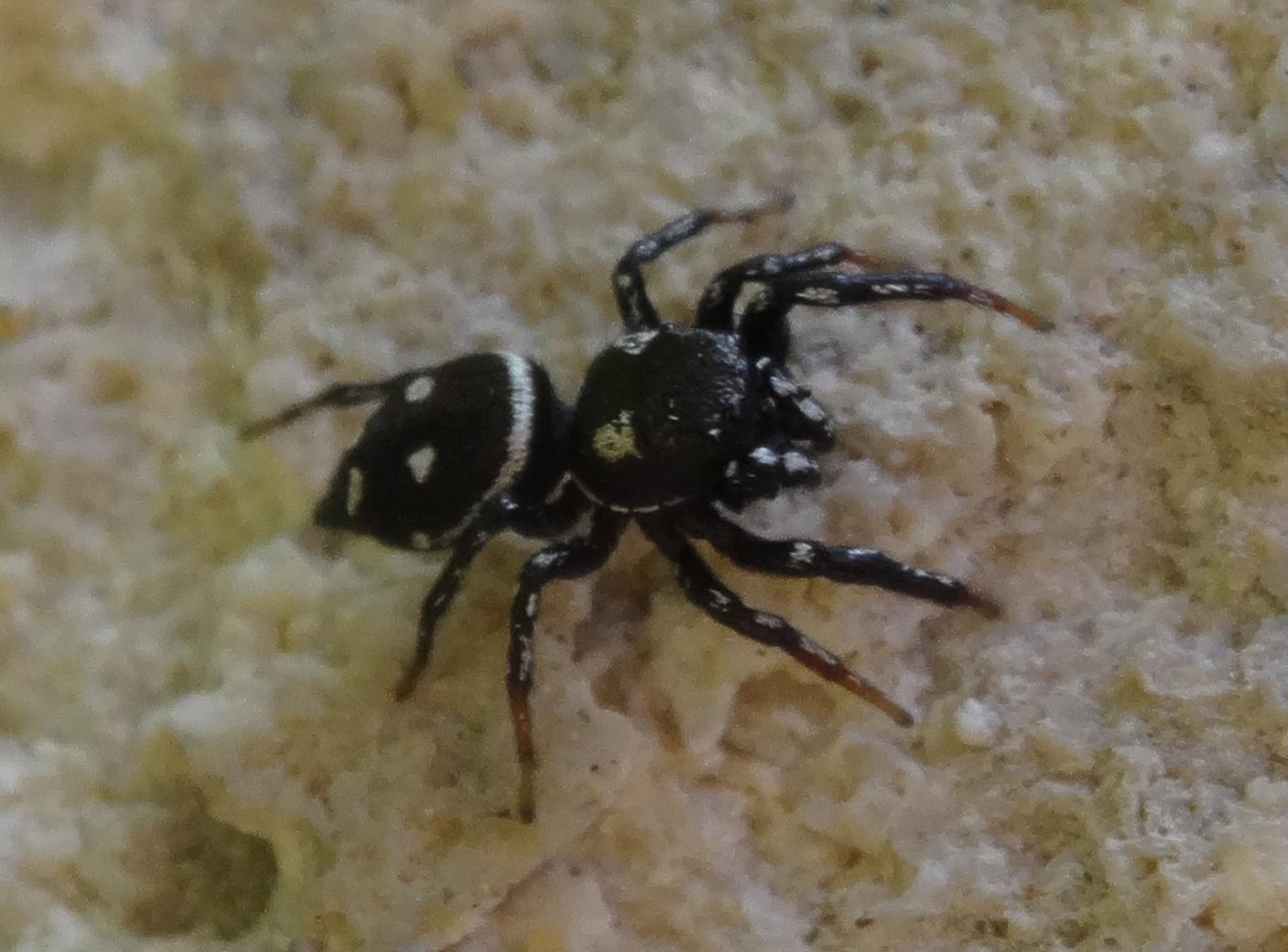 Heliophanus apiatus - ABD