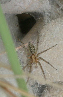 Toile Agelena labyrinthica 2