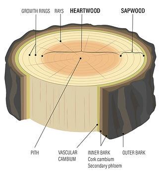Sapwood vs Heartwood.jpg