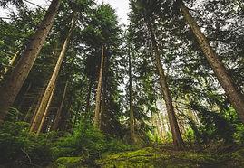 forest-pine-trees-975624 (Pexels).jpg