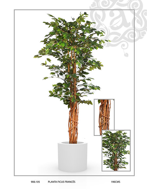 FRENCH FICUS