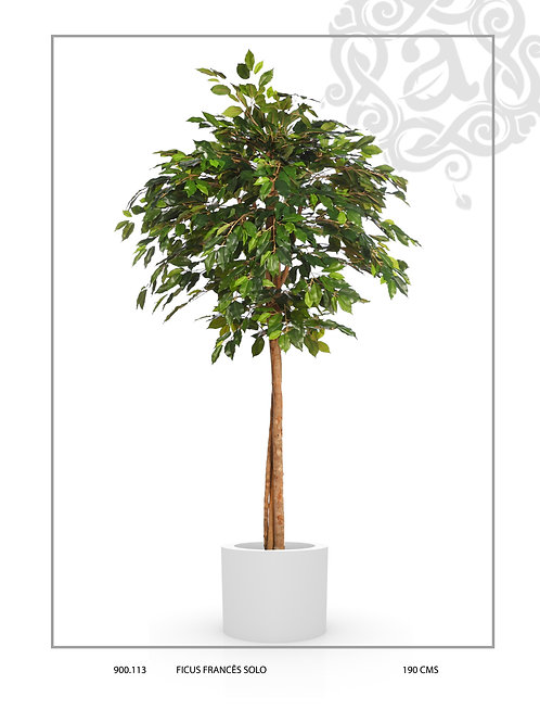 FRENCH FICUS SOLO