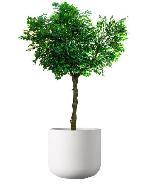 Ficus Tree 3M