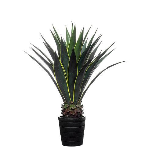 Sisal cactus