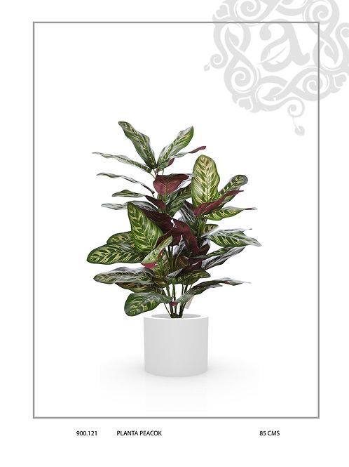 PEACOK PLANT