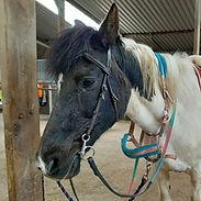 Koko the horse