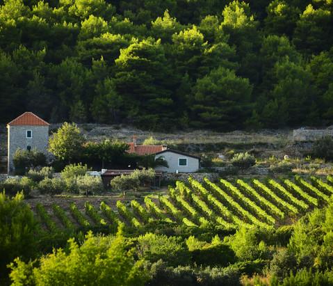 18. Vis vineyards_Photo creator Ivo Perv