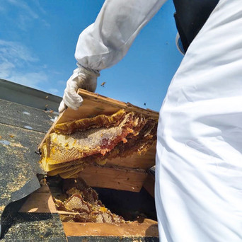 REMOVING BEES.JPG