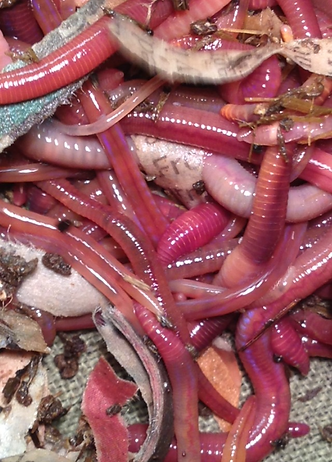 Healthy Red Worms