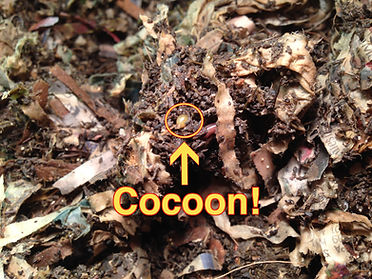 Compost worms, Calgary, Okotoks, Alberta, Canada
