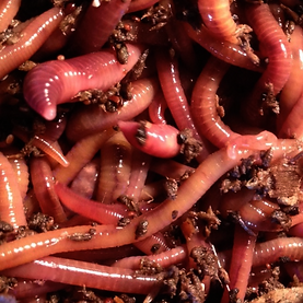 Red wiggler compost worms provide us with an efficient indoor method of composting.