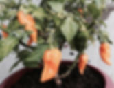 Hot Peppers grown in all-natural organic compost worm castings.