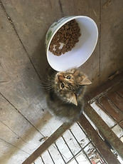 wisdos kitten eating.JPG