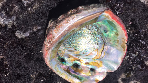 Irridescent abalone shell