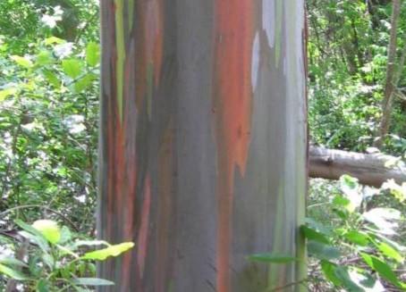 L'huile essentielle Eucalyptus radiata
