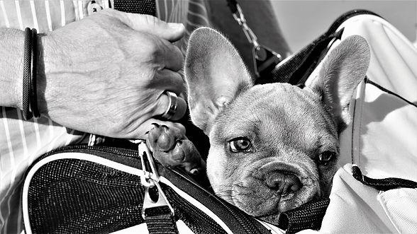 french-bulldog-4287990_1280.jpg