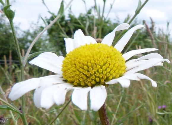 Oxeye daisy (Leucanthemum vulgare) x 15