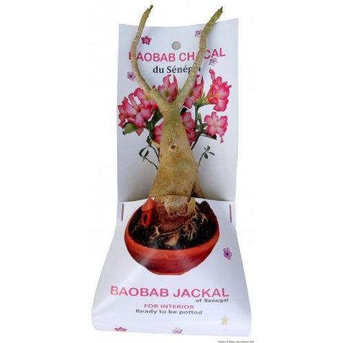 Baobab Chacal (arrivage le 5 décembre)