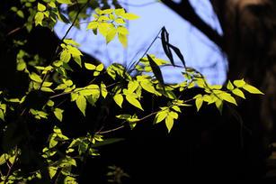 新緑の芽吹き