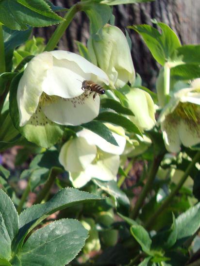 Helleborus&Bee.jpg