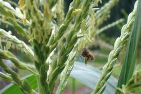 bee-corn.jpg