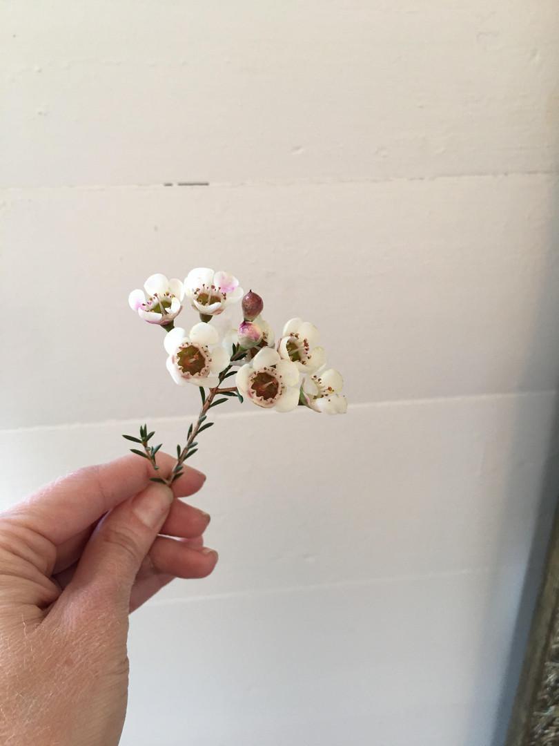 waxflower.jpg