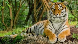 International Tiger Day 2020: कब और कैसे हुई शुरुआत इस दिन