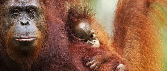 Orangutan_2_edited.jpg