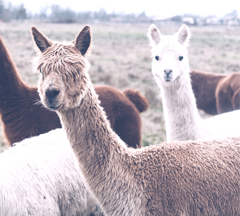 Colorful%2520group%2520%252F%2520pack%2520of%2520Alpacas_edited_edited.png