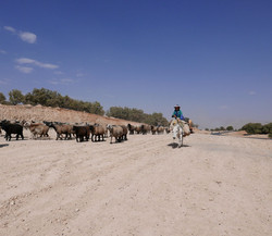 Qashqai herding sheep Zagros mountai