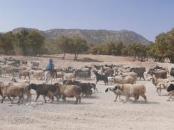 Qashqai and Sheep