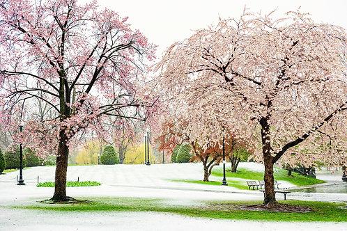 Snow and Blossom