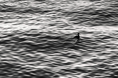 The duck. BW