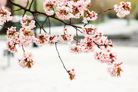 BostonBloom&Snow_02.JPG